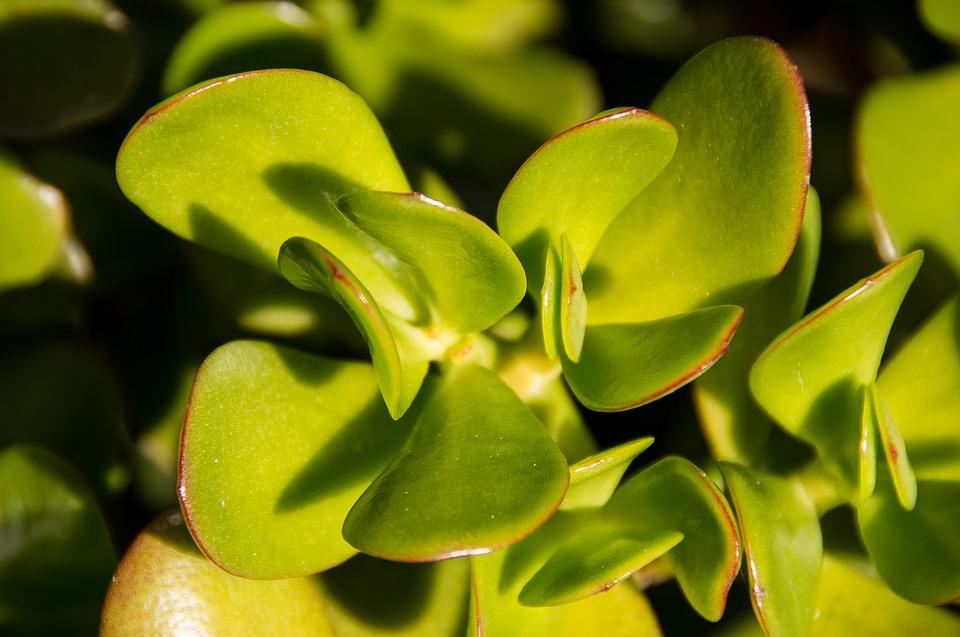 jade-plant-1671461_960_720.jpg
