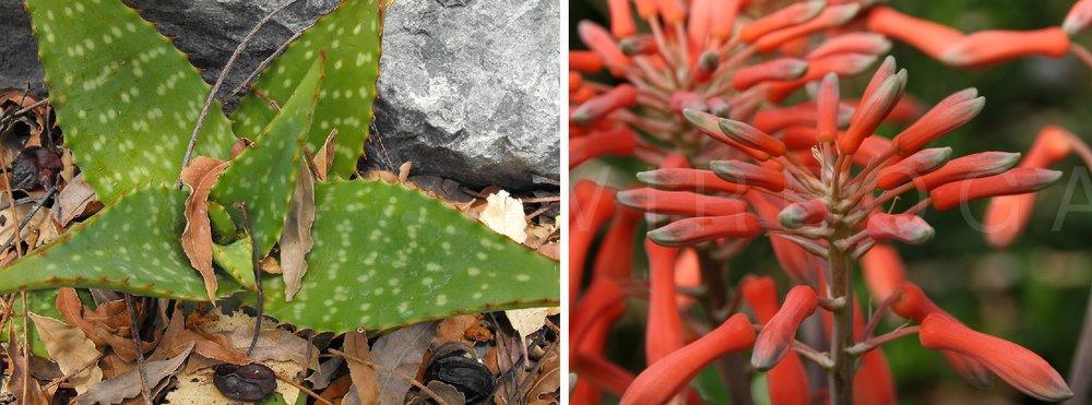 Aloe Zebrina4.jpg