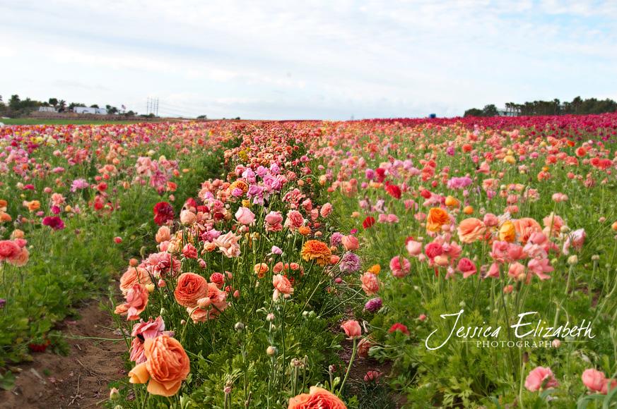 Jessica Elizabeth Photography Carlsbad Flower Fields-2.jpg