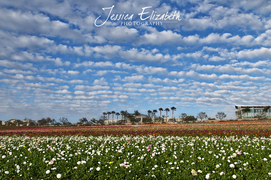 Jessica Elizabeth Photography Carlsbad Flower Fields-3.jpg
