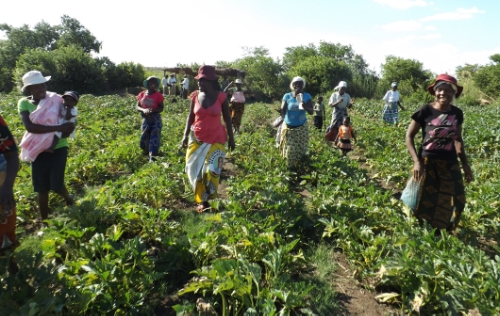 The women of Goromondzi organic association and their courgette crop destined for supermarkets in Harare, while also benefiting the local foodshed.  Last season they rotated with sugar snaps for export to the UK, Holland and South Africa.