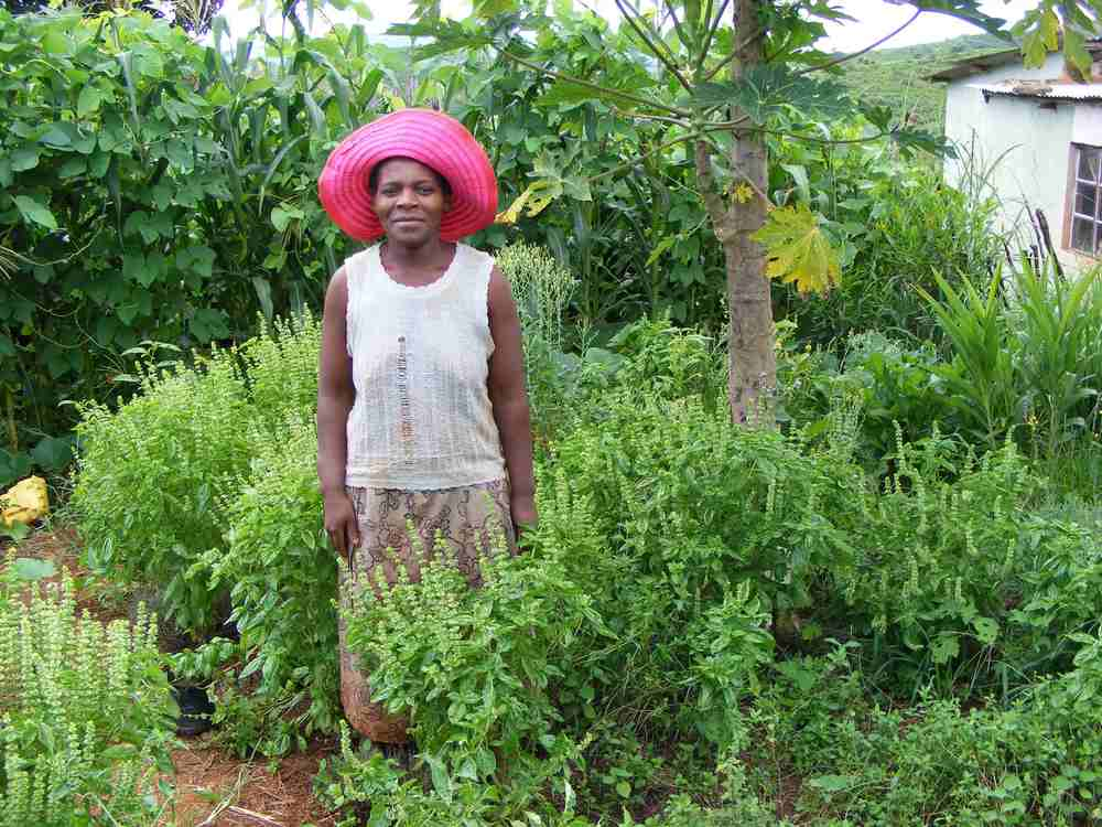 Gertrude Mdluli   'I was a difficult person to get along with because of my temper, but then my neighbours started to visit my garden. I now have vegetables all year round, and always harvest my crops first since I started to use permaculture [zero tillage] I no longer have to wait for the plough to arrive – as women we are always last. Before I did not have good relations with my neighbours or nature, I wasn't a very healthy person. All of this has improved since I started my permaculture garden, where I am also growing basil to sell.'