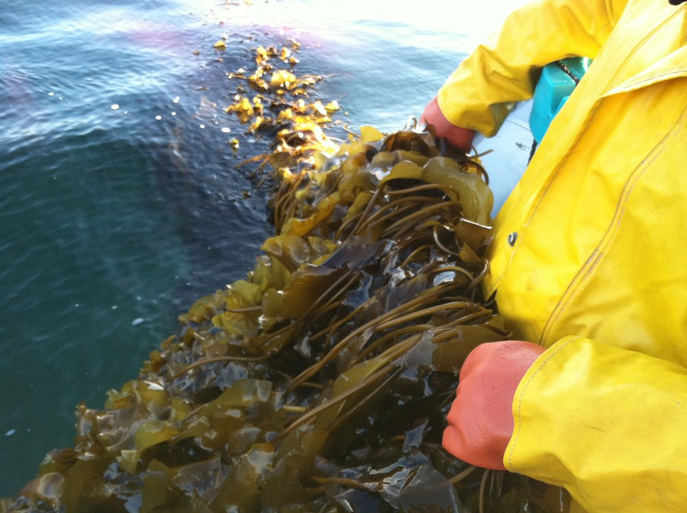 In addition to performing important ecological services, our farms and the farms of the independent farmers who grow kelp for us provide a healthy food source, and jobs in our coastal communities.