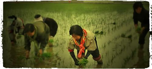 rice pickers_2b.jpg