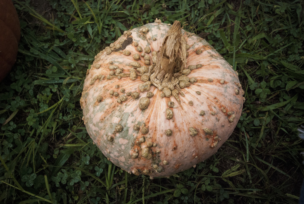 Pumpkin with too many warts