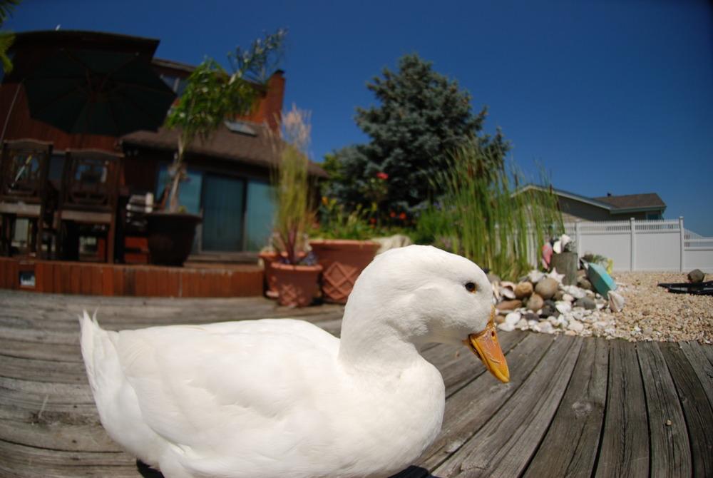 I had a pet duck. I miss him.