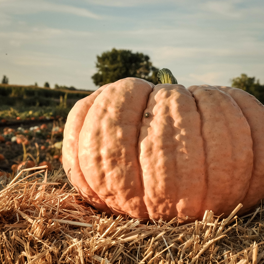 The Copper Anchor pumpkin patch
