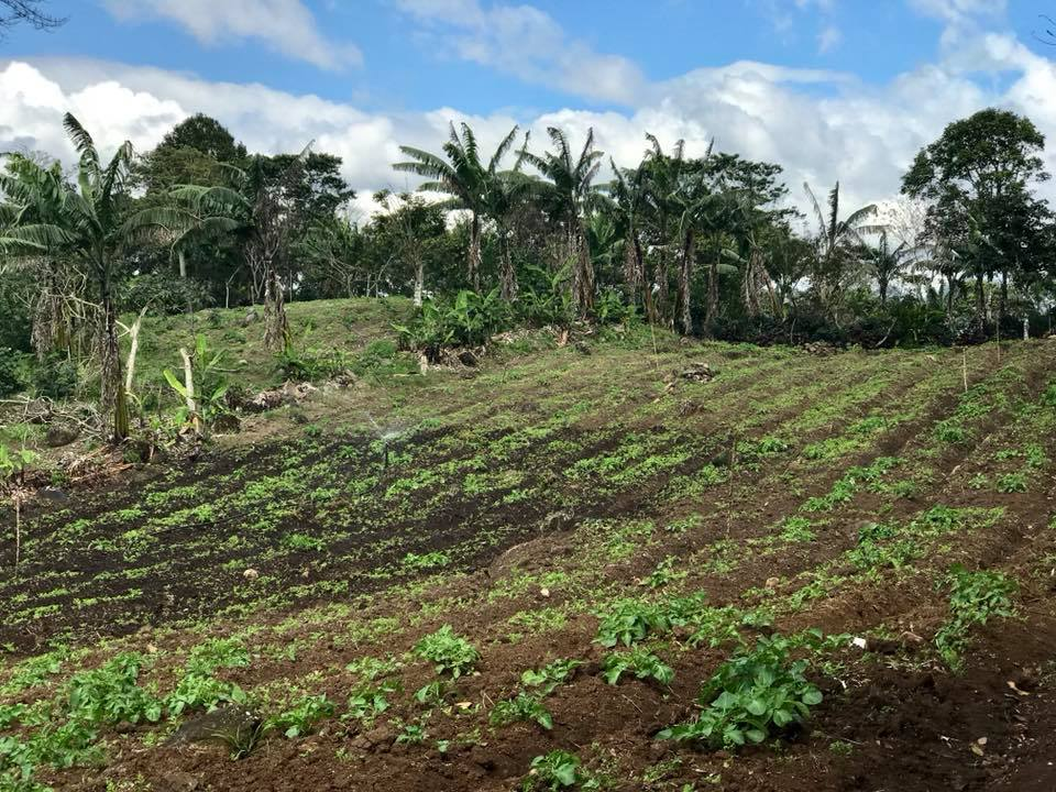 Jairo diversifies beyond coffee with crops like cabbage and carrots.