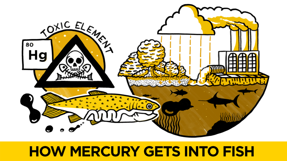 Bbc i wonder mercury in fish cognitive for How much mercury is in fish