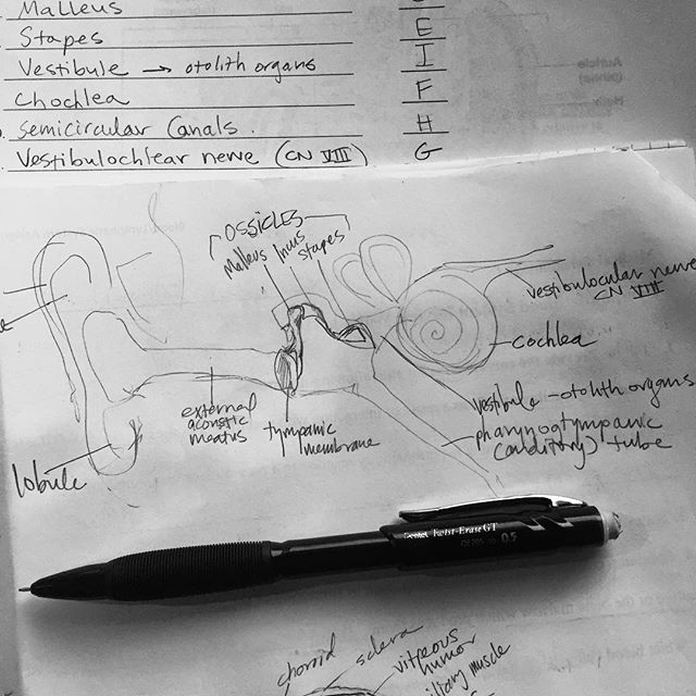 Studying Anatomy and Physiology: Ear No. 1