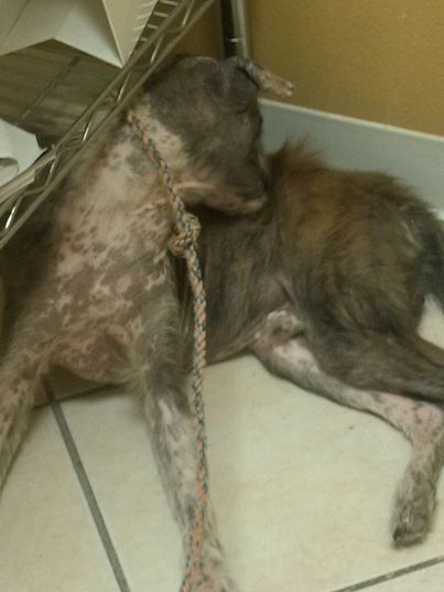 "This is another one who had a bad case of mange. Gordo was rescued from a place that was ""supposed"" to be a sanctuary."