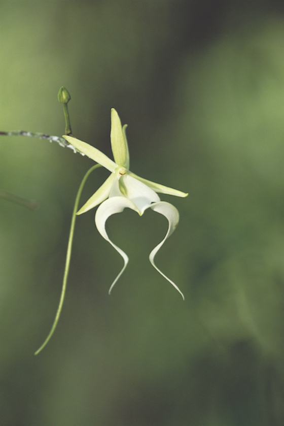 "Ghost Orchid Classic - 16"" x 22"" Photo on Aluminum ©Connie Bransilver  -  $325.00  Other sizes to order  40""x55"" Framed Pigment on Watercolor Paper  -  $800.00   Other sizes to order."