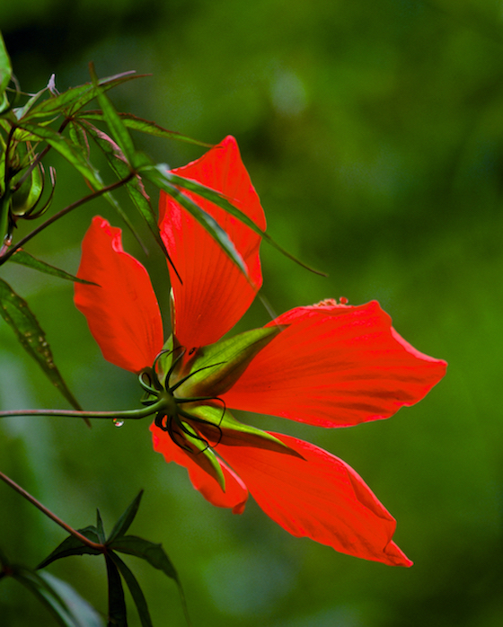 "Swamp Hibiscus - 16""x24"" Photo on Aluminum ©Connie Bransilver  -  $325.00  Other sizes to order."