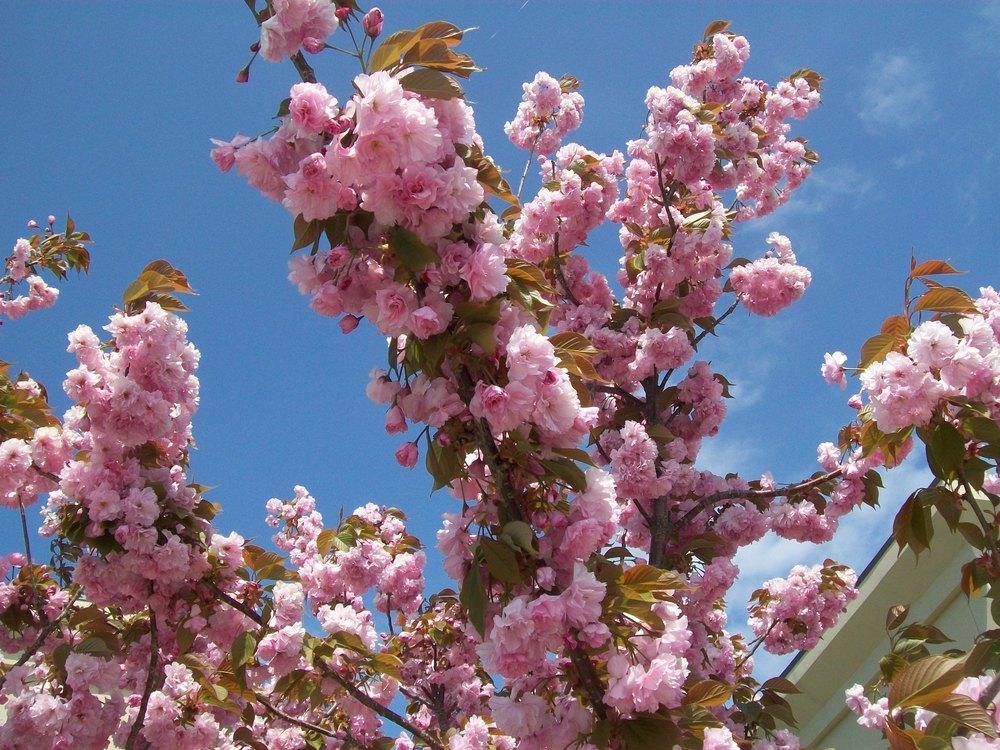 Cherry Blossoms in Branford April 2012 1.JPG
