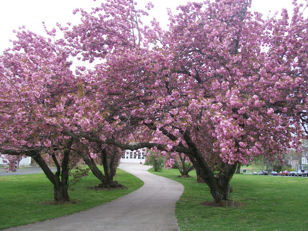 Cherry Blossoms in Branford April 2012 3.JPG