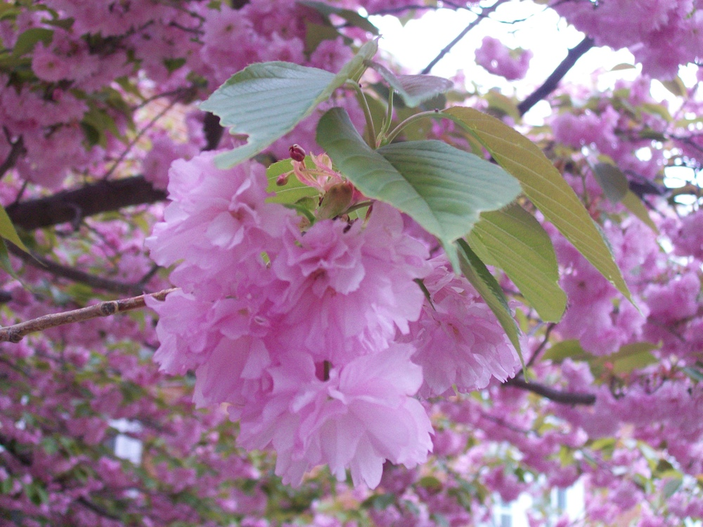 Cherry Blossoms in Branford April 2012.JPG