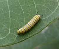 2018 monarch caterpillar cr.jpg