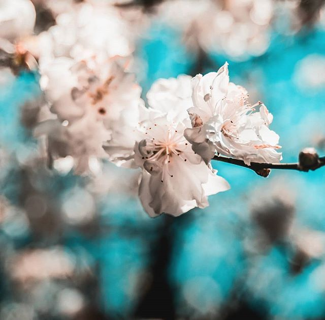 It's been awhile since I've posted anything and I probably won't be posting again for awhile. But until life gets back to normal, here's some blossoms. . . . . . {#flowers #blossom #neverstopexploring #getoutside #instadaily #potd #photography #photooftheday #picoftheday #bestoftheday #bestofvsco #theartoutdoors #vscogram #vscogood #vscocam #exploremore #moodygrams #exploreeverything #vscofilm #welivetoexplore #igdaily #vzcomood #flowers #flora #flower #macro #macrophotography #natureporn #nature #cherryblossom }