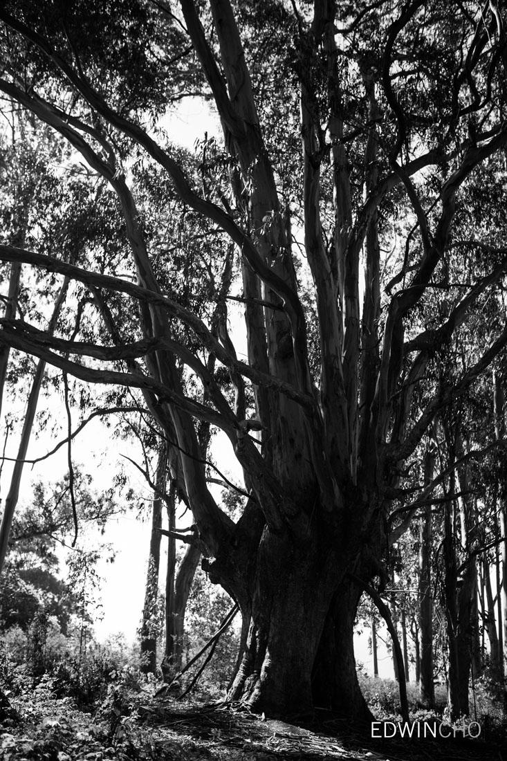 Alamere Falls Tree