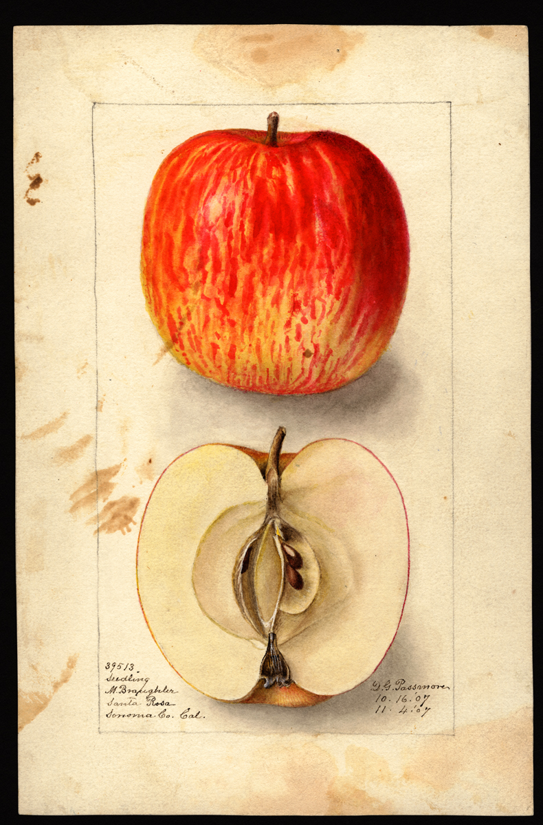 Watercolor of malus domestica (apples) painted by Deborah Griscom Passmore © U.S. Department of Agriculture Pomological Watercolor Collection. Rare and Special Collections, National Agricultural Library, Beltsville, MD 20705
