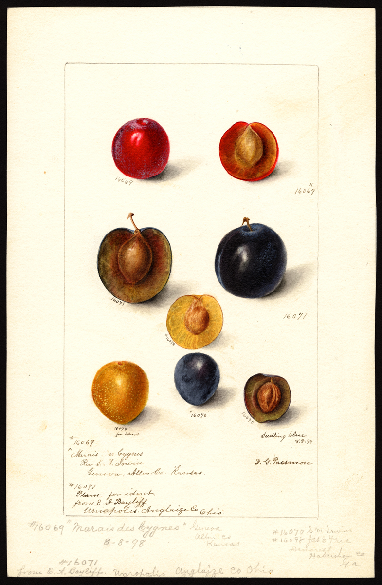 Watercolor of prunus domestica (plums) painted by Deborah Griscom Passmore © U.S. Department of Agriculture Pomological Watercolor Collection. Rare and Special Collections, National Agricultural Library, Beltsville, MD 20705