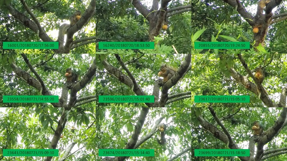 Squirrels seem to be sneaking off with the bulk of the Orchard's peaches. The timestamps on these photos are from six different hours; four photos are from a 20-minute period as a squirrel moves among the branches with a peach.