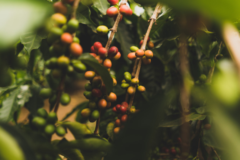 Possibly Organic Soapberries. Ripe and unripe berries bunched on a tree branch. Photo by Clint McKoy.