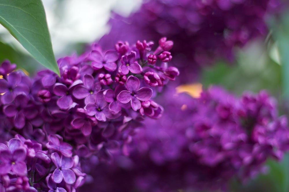 dark-lilacs.jpg