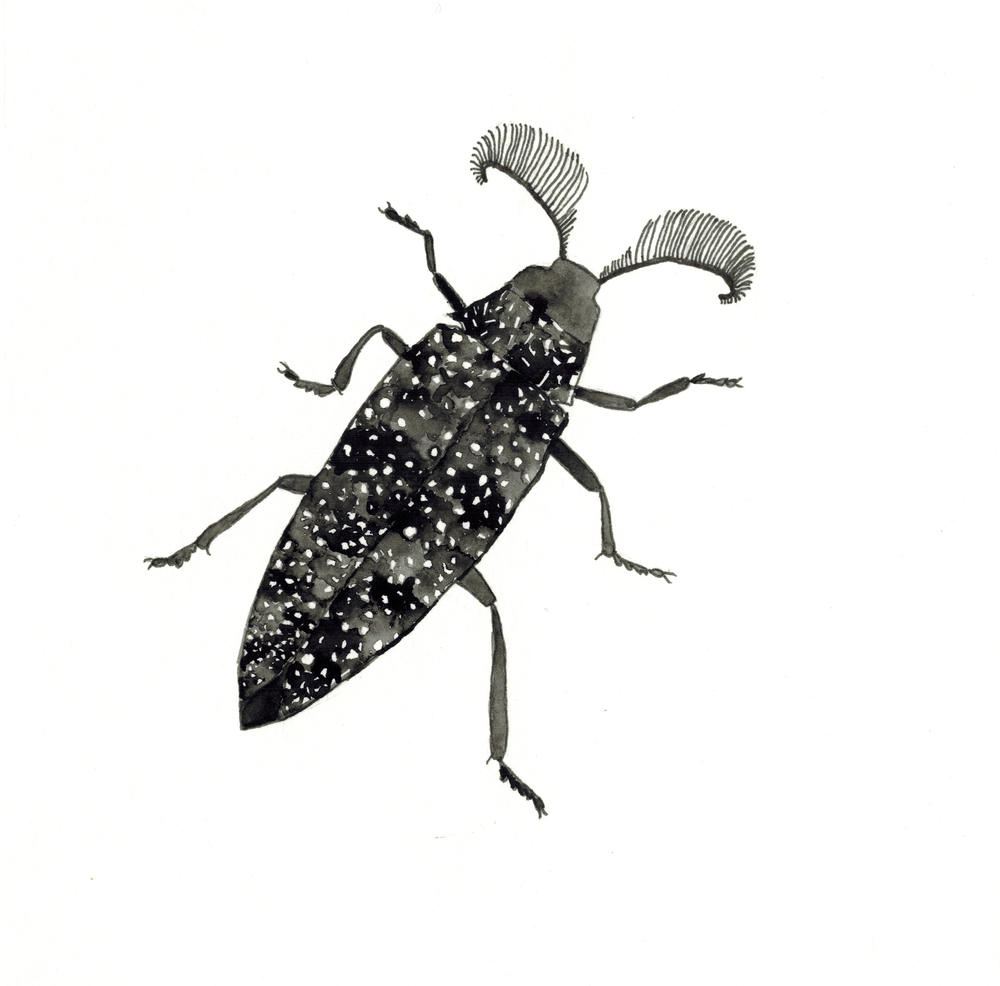 feather-horned beetle
