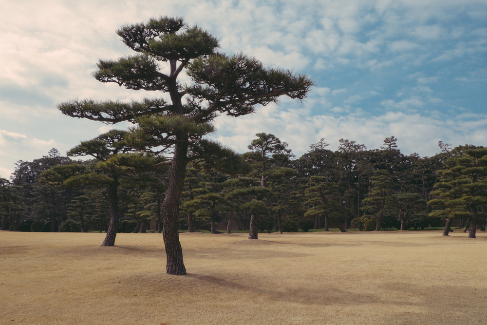 TreeJapan-1.jpg