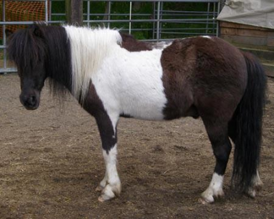 Cookie is a 11.0hh black tobiano Shetland pony and is one of our go-to lesson horses for our beginner group lessons. Click here for more pictures and info on Cookie!