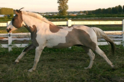 Bandit is a 15.0hh grullo tobiano splash white Fjord Paint cross.  He is a wonderful lesson horse and especially gifted at teaching beginners how to use their leg aids.  Click here for more pictures and info on Bandit!