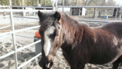 Dusty is a 11.1 hh Shetland Pony.  He came from Algers, WA where he was ridden by a little girl. Dusty is one of our advanced ponies and is a step up from lead line. His whimsical nature and energy make him a wonderful school horse! Click here for more pictures and info on Dusty!