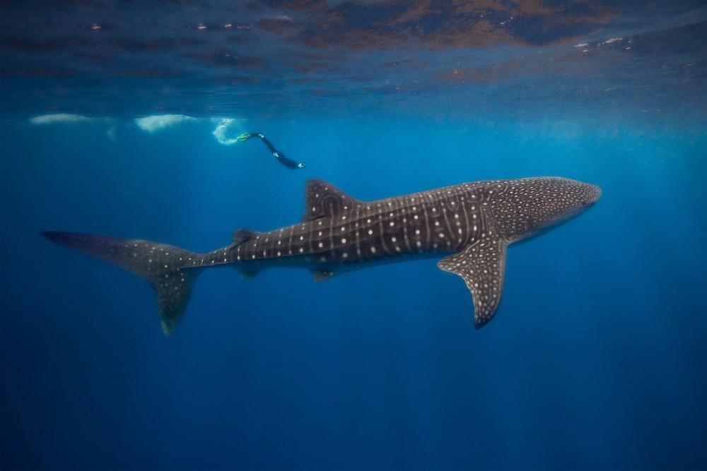 Whale Shark Diving.jpg
