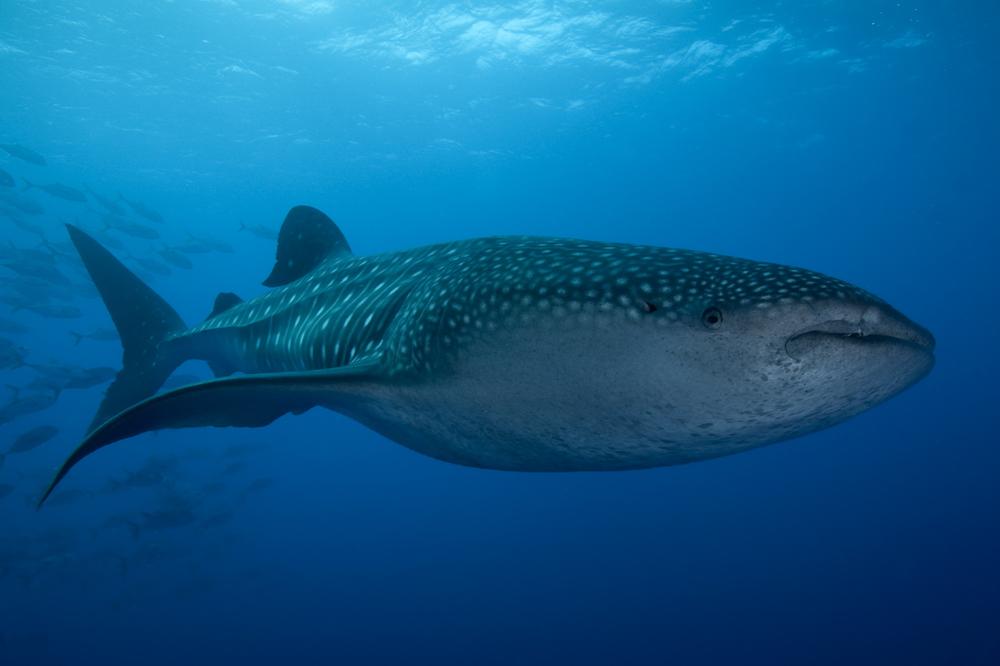 Whaleshark-01.jpg