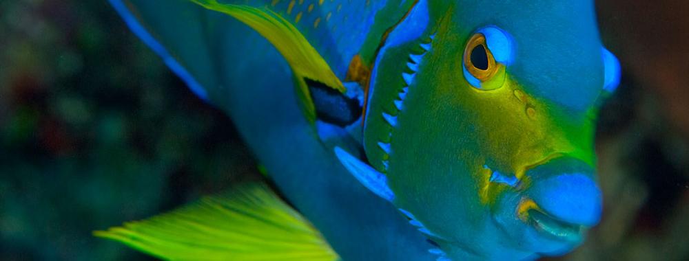 queen-angelfish-in-belize.jpg