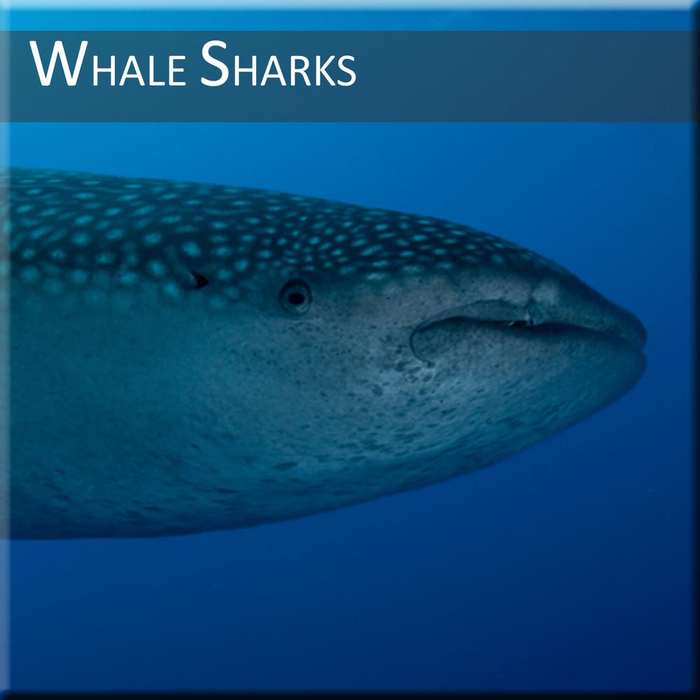 Whale-Shark-Diving.jpg