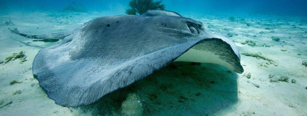 Caribbean Sting Ray