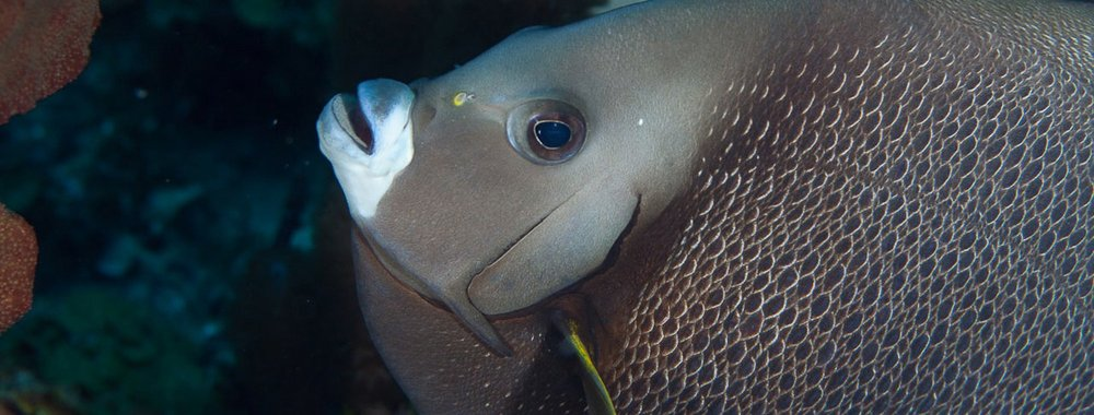 gray-angelfish-in-belize.jpg