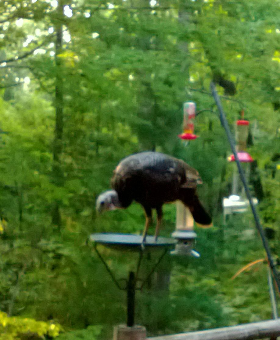 Turkey on the deck cropped.jpg