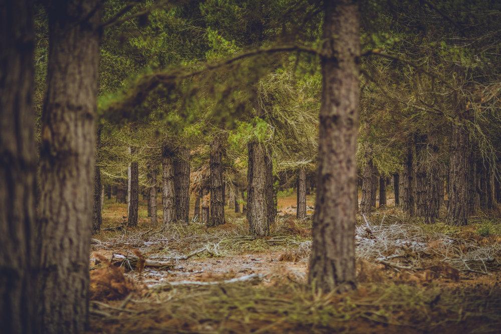 lake tekapo pine forest