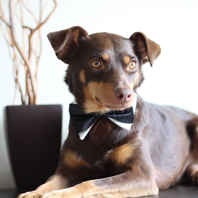 SALE until items last. Check the SALE page as well as each items listed as sale on each page. #doginbowtie #dressydogs #dapperdog #doglovers #dogsofinstagram #dogcollar #dogbowtie #dogfashion #dogtie #petaccessory #petstagram #love #lovecat #lovedog #lovepets #fancycats #catbows #bowtiedogcollar #sfetsy #instapets #insta_dogs #usagiteam #etsy #cutepetsposts #minpin #cutepets #cutepet
