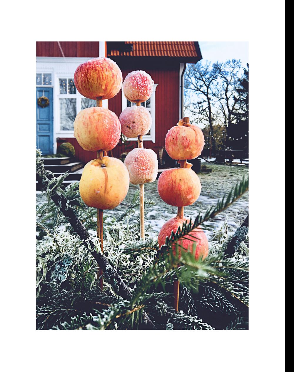Jag hade hoppats att fåglarna skulle bli glada och äta upp äpplena, men inte en endaste en brydde sig om min installation!
