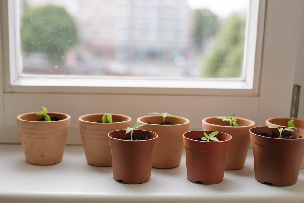 May 2015: Chilli seedlings in their new homes.