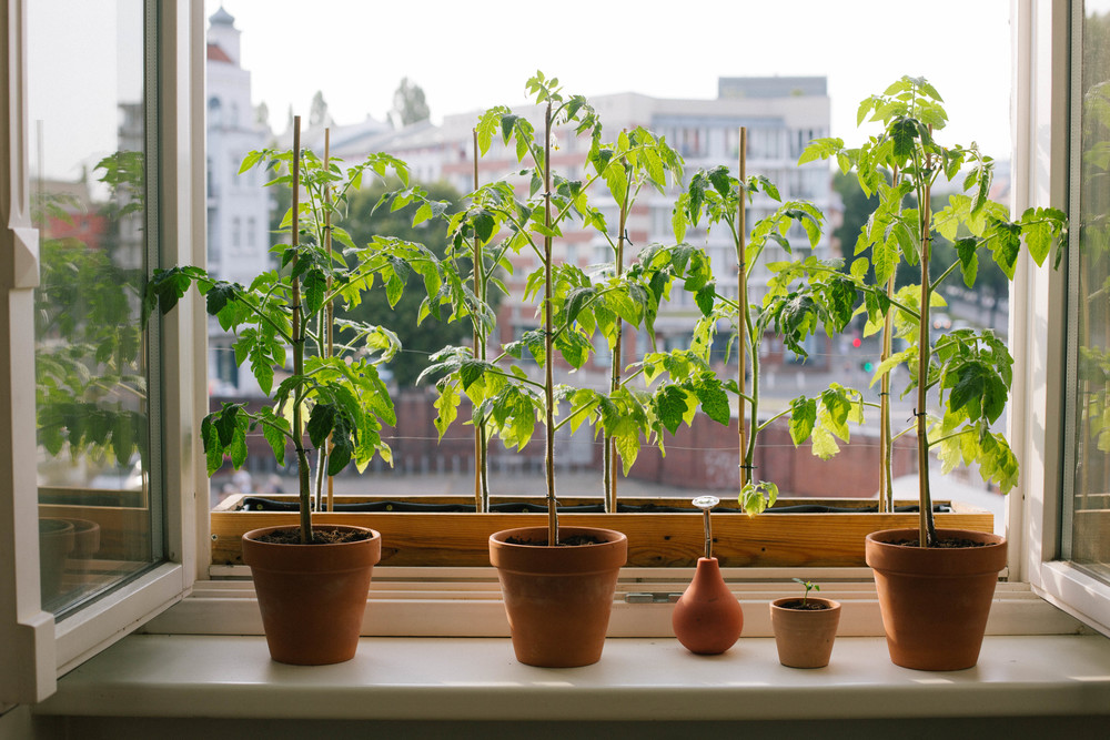 July 2015: Our window box & pot tomato plants and a tiny lemon seedling.