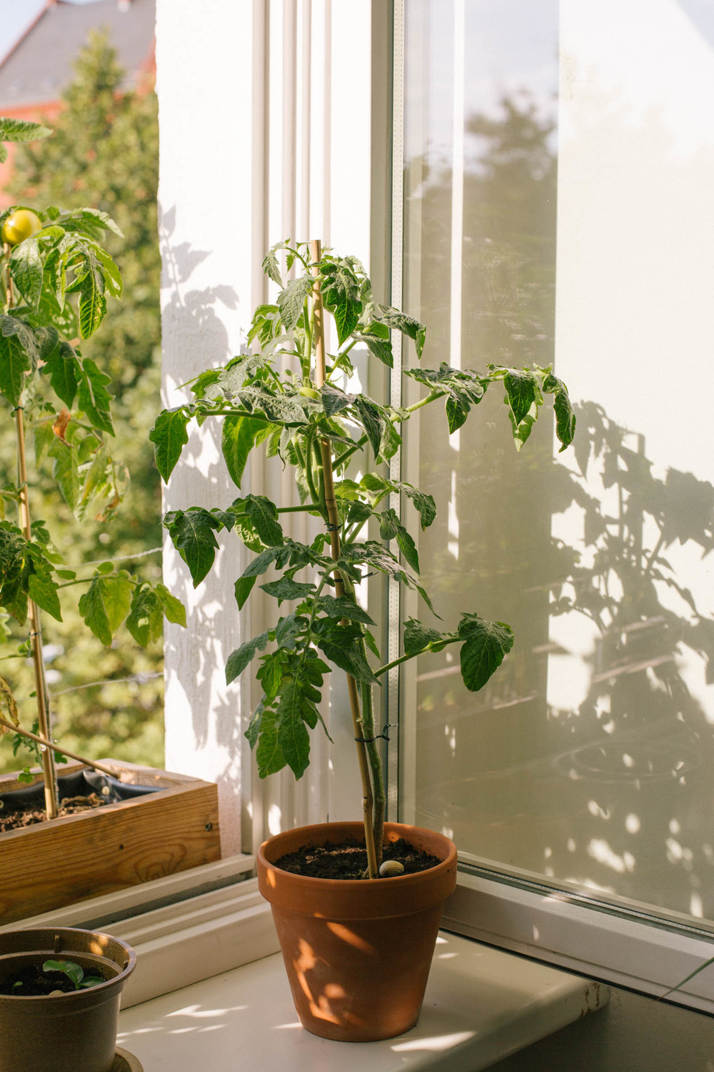 August 2015: The tomatoes on the inside windowsill are taking a little longer to grow.