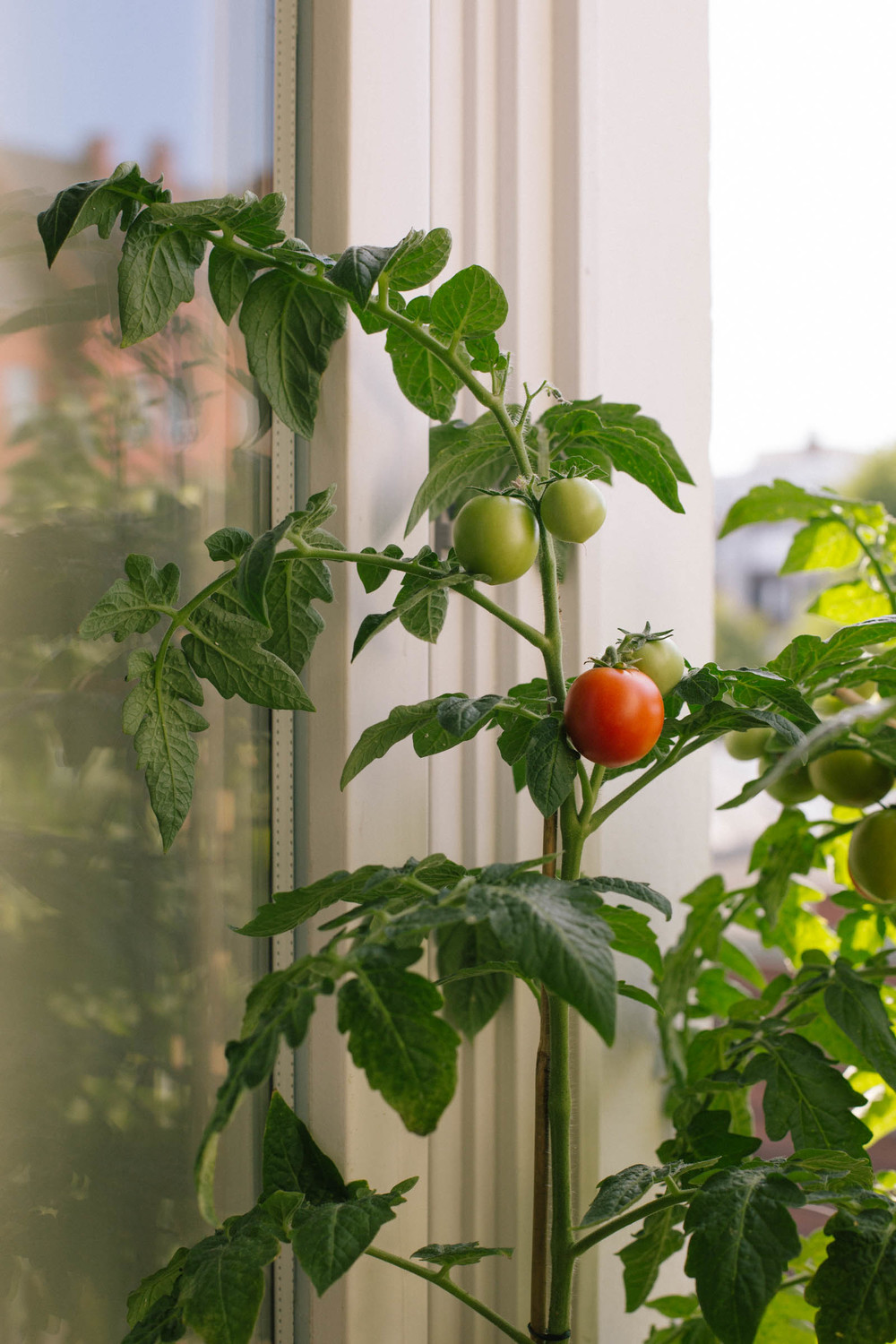 August 2015: A red tomato ready for picking.