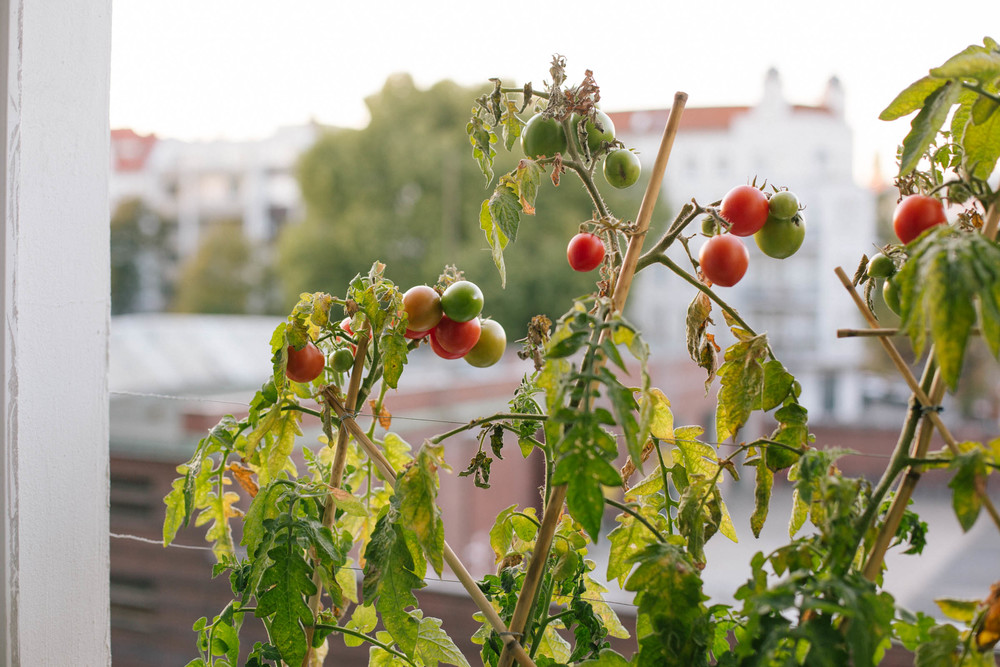 October 2015: As the days and nights are getting colder, the plants are slowly wilting but the tomatoes are still continuing to ripen.