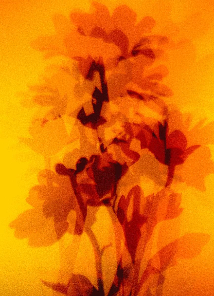 krysantemum.jpg