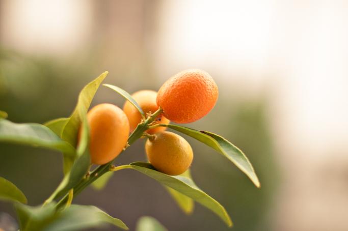 kumquat-0184.jpg